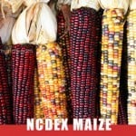 ncdex maize tips