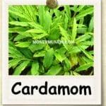 mcx cardamom tips